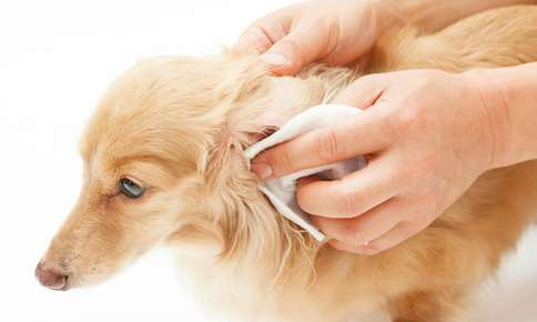 Proper Ear Care for Pets